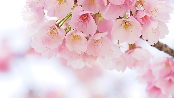 桜の郷 会津